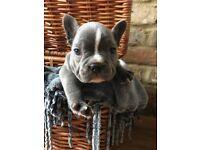 Silver Blue French bulldog puppy