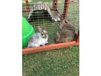 Cute Baby Netherland Dwarf Rabbits For Sale