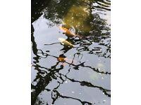 Pond fish including kios sturgeon grass carp mirror carp Rudd roach and gold fish