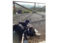 Two puppy Border Collies (Male and Female)