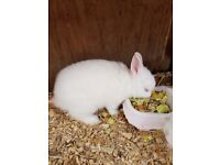 3 month old baby netherland dwarf rabbits