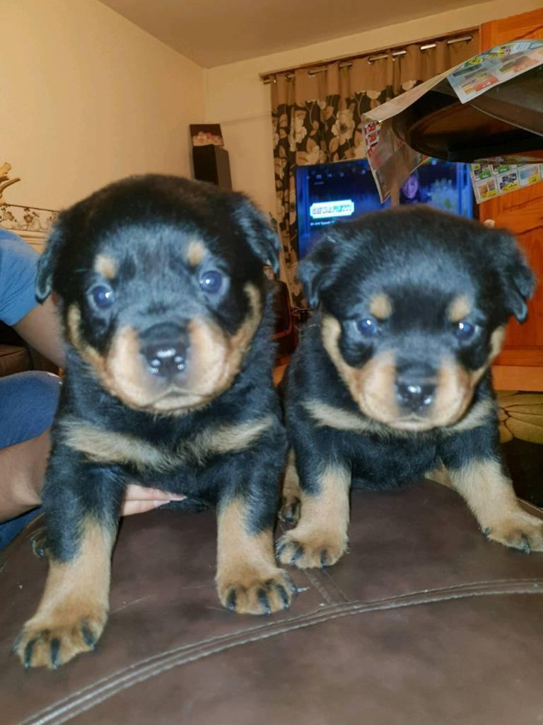 Rottweiler Puppies For Sale In Liverpool Merseyside Gumtree