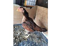 ASEEL HEN FOR SALE