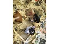 Super short legged jack Russell's for sale