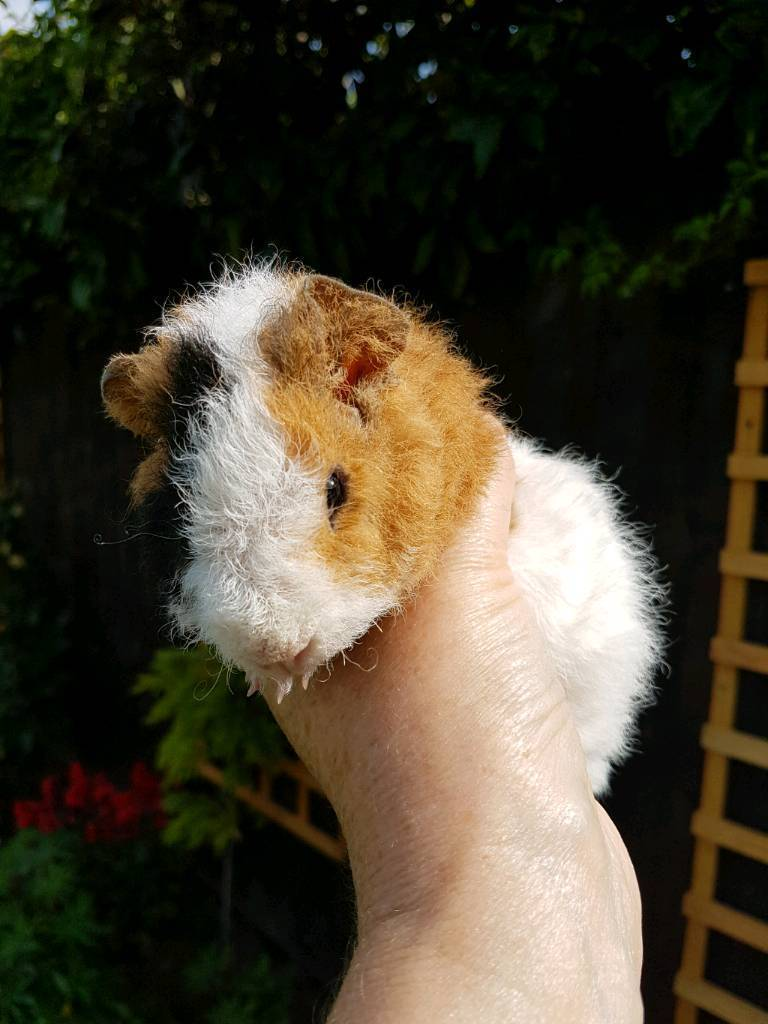 Baby Teddy Guinea pigs