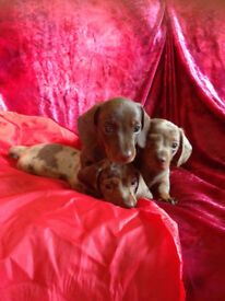 Minature smooth haired dachund chocolate and tan and choclate dapple boys ready now