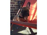 Fawn full breed french bulldog