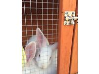 Two albino baby rabbits for sale plus pets at home hutch