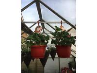 Strawberry hanging baskets