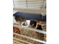 Guinea Pigs and Home/Accessories