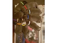 Blue staffy pups kc registered from champion bloodline