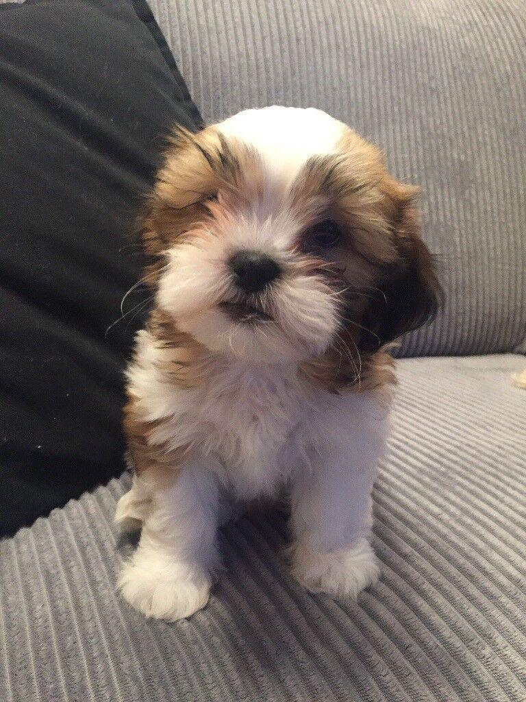 Shih Tzu X Bichon Frise Puppies For Sale In Milton Keynes