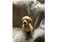 Full breed golden Labrador female puppy for sale
