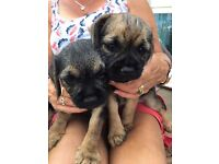 KC REG BORDER TERRIER PUPPIES FOR SALE