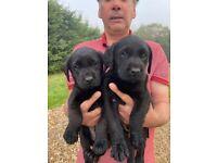 KC registered Labrador puppies 🐶