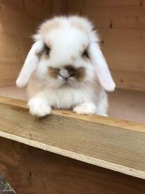 *Friendly baby mini lops available to reserve*
