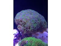 Really Large Frogspawn coral for sale