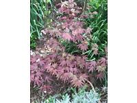 STUNNING RED ACER No.1