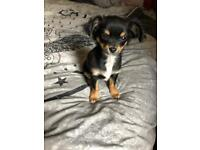 SOLD SOLD SOLD chihuahua longhaired FEMALE puppy