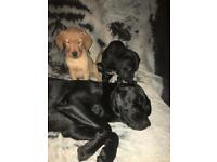 Labrador puppy's for sale