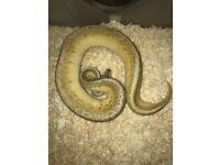Royal python collection