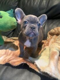 READY TO GO! French Bulldog Puppies - Lilac, Platinum, Black and Tan