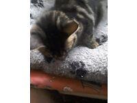 Long grey Tabby