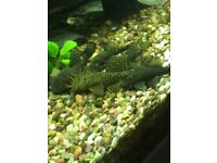 fish, bristlenose plecos