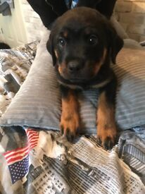 Stunning Rottweiler puppy for sale