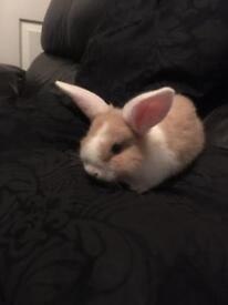 Mini lop eared house rabbits
