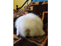 Lion lop boy for sale