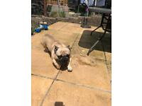Boy French bulldog for sale