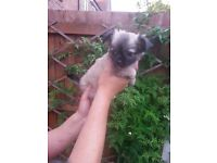 Pedigree Long Haired Chihuahua Puppies For Sale
