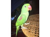 Alexandrine talking parrot
