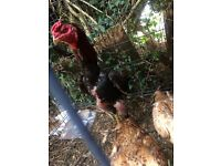 For sale big shamo cock and 2 big aseel hens