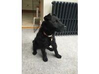 9 month old Patterdale Terrier bitch fully vaccinated, microchipped and recently spayed