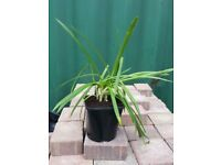 Agapanthus for sale HARDY CHEAP