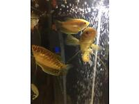 Assorted gouramis for sale