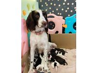 Beautiful English Springer Spaniel Puppies looking for their new families
