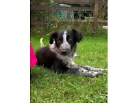 Border Collie Puppies Available!
