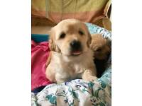 Golden Retriever Puppies (Only 1 Left!!)