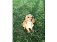 6 month old male cocker spaniel