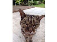 Urgent Missing Elderly Tabby Cat