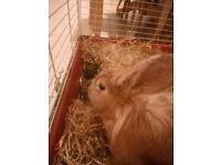 Male Lionhead+lop Rabbit