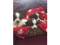 Gorgeous KC Reg English Springer Spaniel Puppies