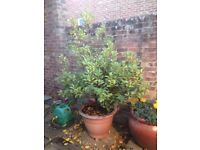 "Bay Tree in Pot Approx 70"" high"