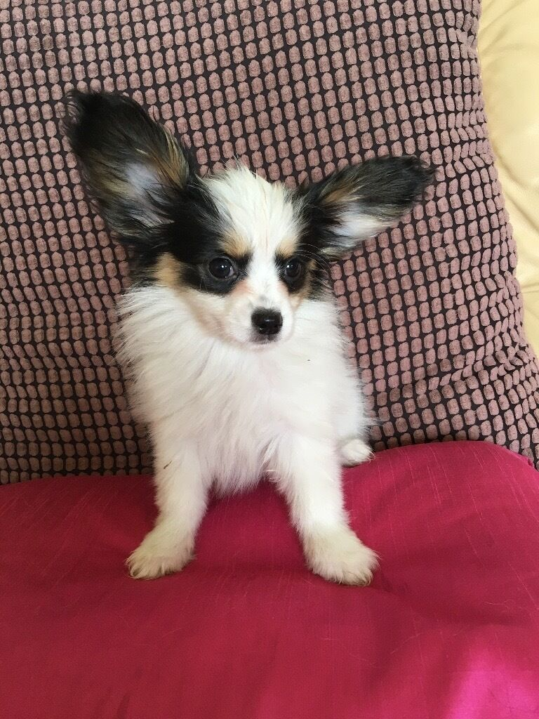 Papillon Puppy For Sale In Linlithgow West Lothian Gumtree