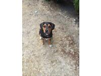 Beagle cross terrier