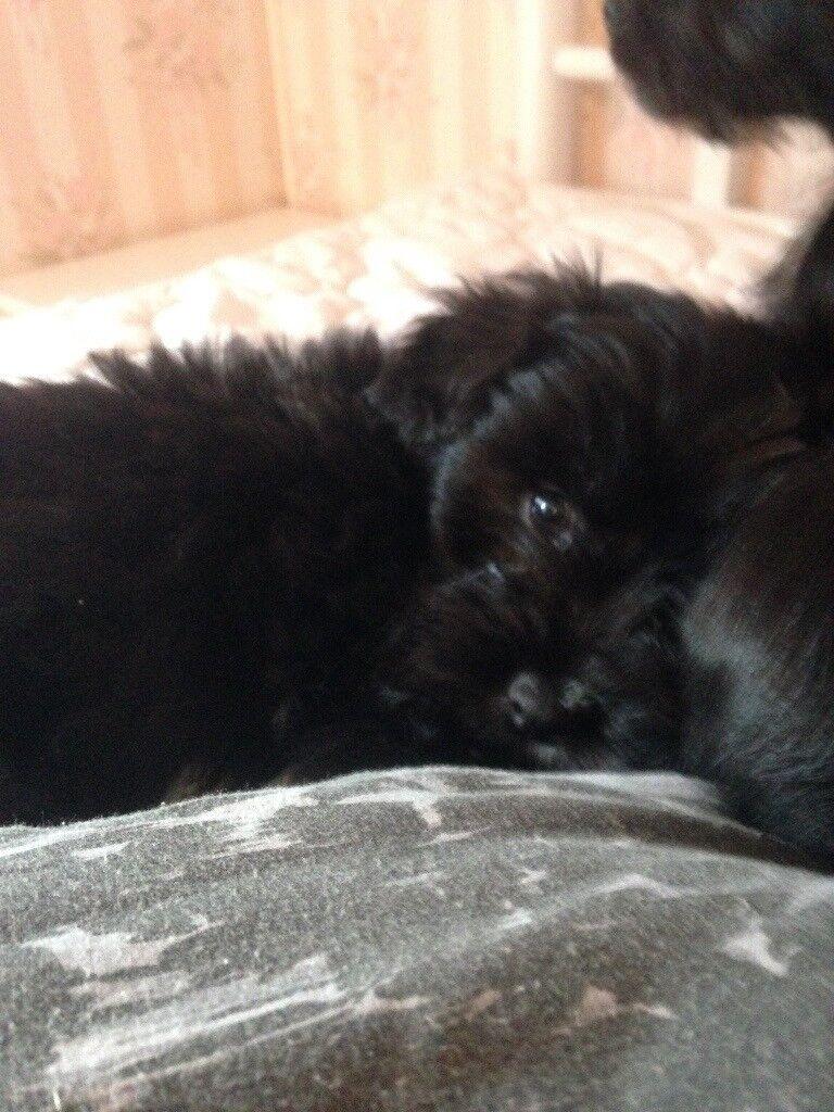 Shih Tzu Puppies 🐶