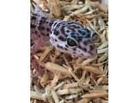 Leopard gecko baby and vivarium tank